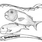 sheepheadweb